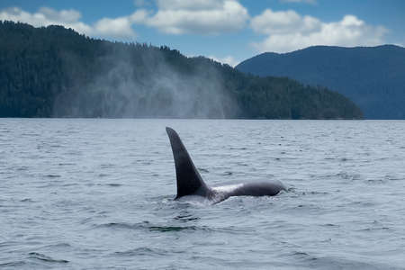 Killer whale in Tofino mountains in background, view from boat on a killer whale