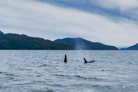 Killer whale in Tofino mountains in background, view from boat on two killer whales