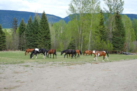 Several horses grazing in a field at the ranch on bright summer day