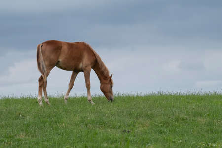 A horse eating grass on a hill Friesland, the Netherlands