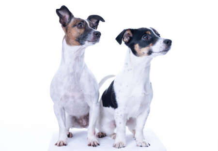 Two brown, black and white Jack Russell Terrier posing in a studio, the dogs look to the right, isolated on a white background, copy space