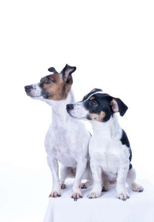 Two brown, black and white Jack Russell Terrier posing in a studio, in full length isolated on a white background, copy space Archivio Fotografico