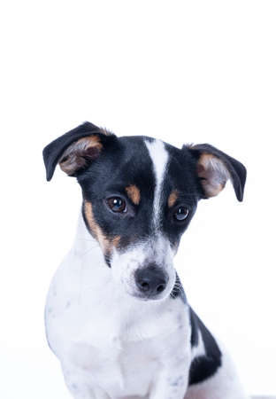 Brown, black and white Jack Russell Terrier posing in a studio, the dog looks straight into the camera, headshot, isolated on a white background, copy space