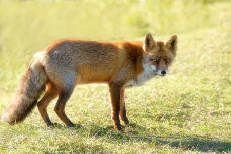 A magnificent wild Red Fox, the fox looks straight into the camera. Reklamní fotografie