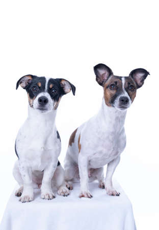 Two brown, black and white Jack Russell Terrier posing in a studio, the dog looks straight into the camera, isolated on a white background, copy space. Archivio Fotografico