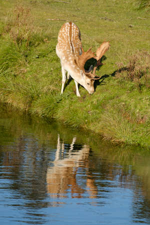 A fallow deer eating grass, next to a river in the sun, the Netherlands