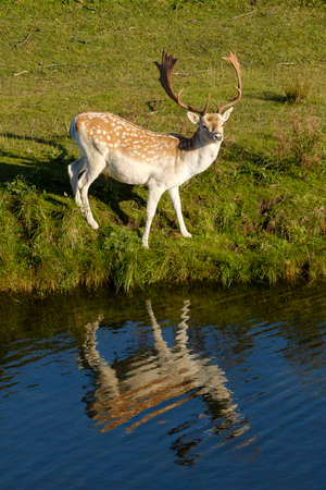 A fallow deer looking at camera, next to a river, refelction in the water, the Netherlands.