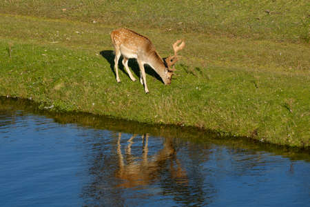 A fallow deer eating grass, next to a river in the sun, refelction in the water, the Netherlands.