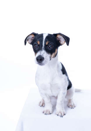 Brown, black and white Jack Russell Terrier posing in a studio, the dog looks straight into the camera, isolated on a white background, copy space Archivio Fotografico