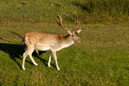 A fallow deer looking at camera, next to a river in the sun, the Netherlands. 版權商用圖片