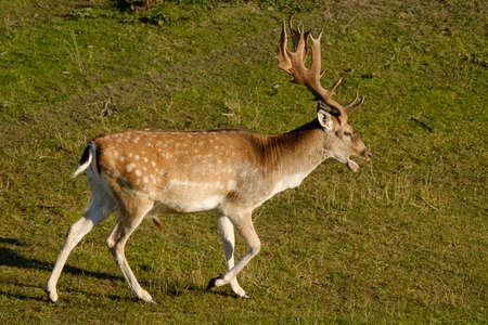 A fallow deer walks in the grass, next to a river in the sun, the Netherlands. 版權商用圖片