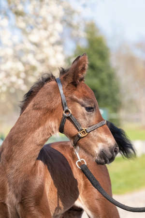 Little just born brown horse, one day old, standing, white blossoming tree in the background during the day with a countryside landscape. Stockfoto