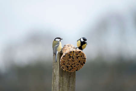 Two tomtits sitting on a feeding ball with seeds. Spring time. Bright photo. Archivio Fotografico