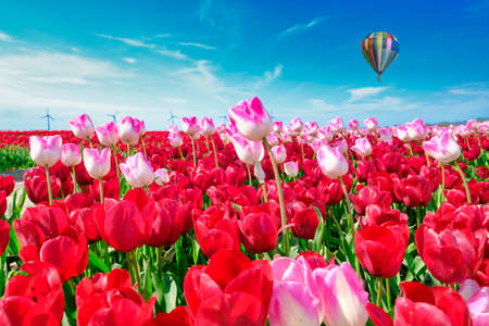 Red and longer pink tulips in one field, with wide angle lense from below, pastel colored hot air balloon in the background. windmills in the background. Selective focus.