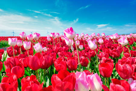 Red and longer pink tulips in one field, with wide angle lense from below, very nice blue cloudy sky in the Netherlands. windmills in the background. Selective focus