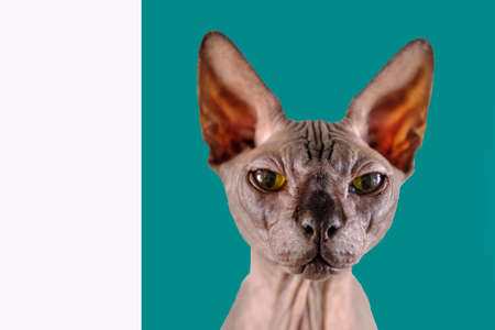 Portrait of a pretty sphinx indoors, bald cat, looks straight into the camera, on green and wihite background, space for copy, focus on eye 免版税图像