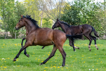 A herd of one year old stallions galloping in the green with yellow flowers pasture, blue sky and trees in the background.