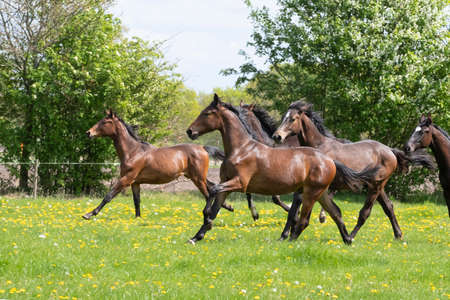 A herd of young stallions go to pasture for the first time on a sunny spring day. Blue sky. Galloping dressage and jumping horse stallions in a meadow. Breeding horses.