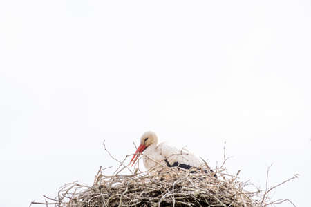 A stork stands in its nest in the spring , white sky in background. copy-space.