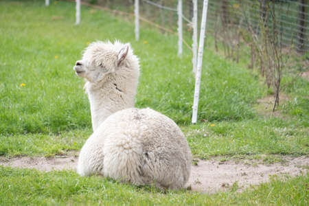 White Alpaca, a white alpaca lie down in a green meadow. Selective focus on the head of the alpaca, full body.
