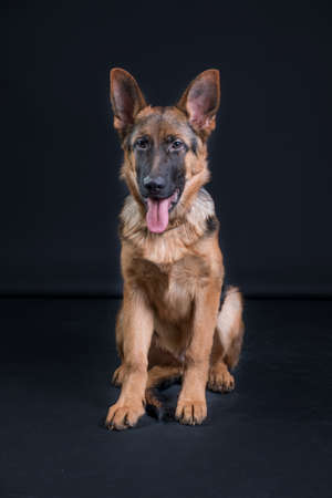 Portrait of a German Shepherd, 3 years old, sit in full body, in front of black background, copy-space
