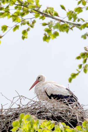 A stork stands in its nest in the spring , fresh green leafs and a blue sky in background. copy-space.