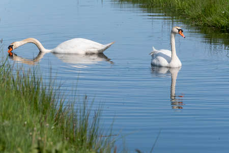 Two white swans with orange beaks swim in a pond, the sun shines on the feathers. Reflections in the blue water.