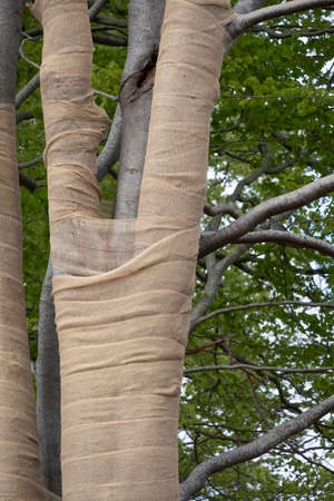 With Jute, beech trees where the light intensity has been changed by grubbing neighboring trees are protected against drying out, but also against sunburn.