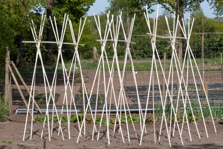 Bamboo: a support frame ready for climbing beans and peas in a vegatable garden.
