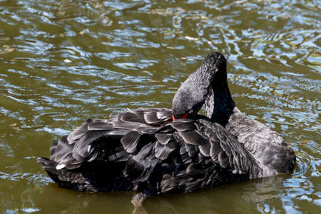 One black swan with red beak, swim in a pond. The swan itches with its beak in its feathers. Reflections in the water. Stock Photo