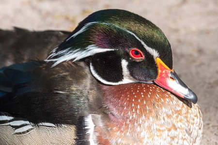 A male Wood Duck is standing next to the water. Also known as Carolina Duck. With bright colors in the sunlight, part of body.