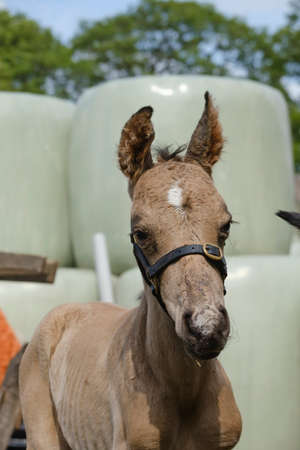Head of a newborn riding horse colt at the farmyard, part of body, yellow dun color.