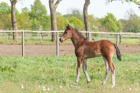 Little just born brown foal standing in green grass during the day with a countryside landscape. One week old, harness horse, riding horse.