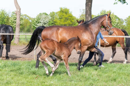 Little brown foal, runs next to the mother, one week old, during the day with a countryside landscape. Banque d'images