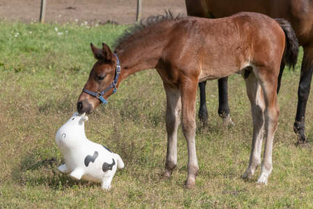 Brown stallion foal is playing with brightly colored rubber inflatable animal toys, in the pasture, riding horse