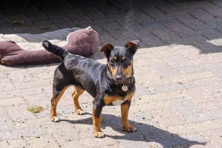 Black and tan Jack Russell Terrier posing iin full body, with shadow.