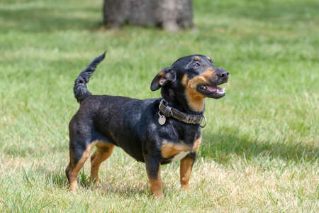 Black and tan Jack Russell Terrier posing in full body, stands in the grass with shadow .