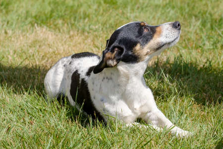 Black and white Jack Russell Terrier pup lying in a field, shadow in grass.