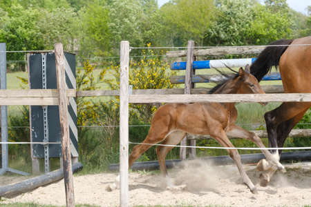 One week old mare foal is playing, she jumps over an obstacle, behind a fence, happy active brown foal.