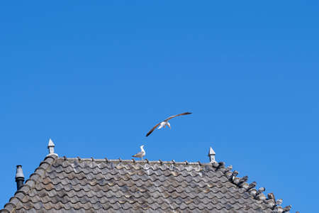 Pigeons sit on gray roof tiles above the gutter of a house, flying, against a blue sky. Standard-Bild