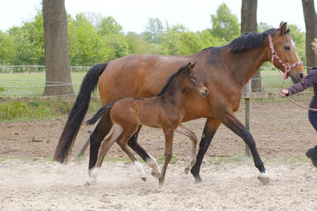 Little brown foal, trosts next to the mother, one week old, during the day with a countryside landscape Banco de Imagens