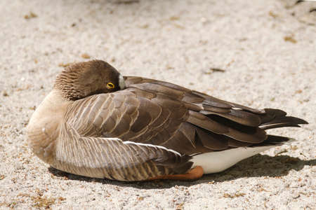 Brown duck sits on the sand,in side view, with shadow.