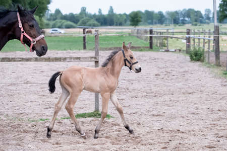 Little yellow foal, trosts next to the mother, one week old, during the day with a countryside landscape.