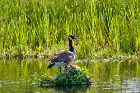 Canada Goose on her nest with two recently hatched chicks, A nest built on the water, soft yellow goslings,
