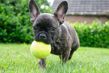 A cute adorable brown and black French Bulldog Dog is playing in the grass with a yellow ball. 版權商用圖片