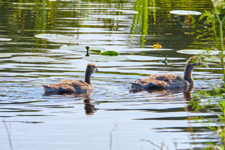Canada goose, two newly hatched chicks, swimming in the water, soft chicks. Archivio Fotografico