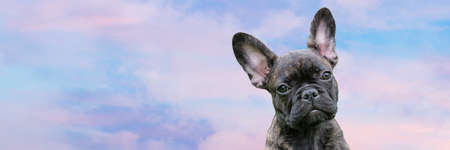 Panorama of a puppy head, brindle French Bulldog Dog, against a dramatic sky background, composite photo.