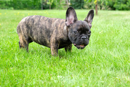 A cute adorable brown and black French Bulldog Dog is standing in the grass with a cute expression in the wrinkled face.