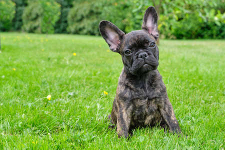 Puppy black brown brindle French bulldog sitting in the grass. Natural background.