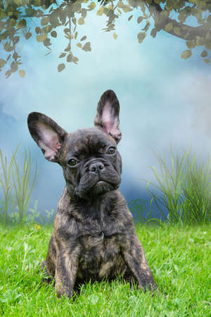 An adorable brown and black brindle French Bulldog Dog, against a dramatic sky with a tree in background, composite photo.